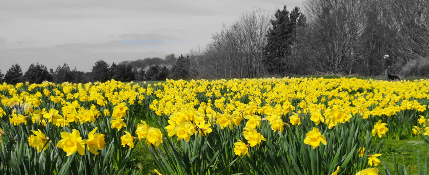 Daffodil Dash (Temple Newsam) 2020